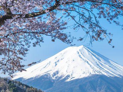 Manessis Japanese Sakura