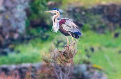 Purple Heron taken by David Koutsogiannopoulos on April 2019.